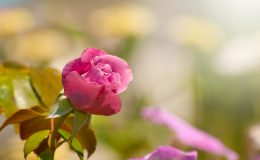 Deep pink rose in autumn garden